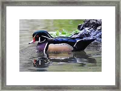 Male Wood Duck Framed Print by DiDi Higginbotham