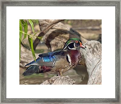 Male Wood Duck Dwf029 Framed Print