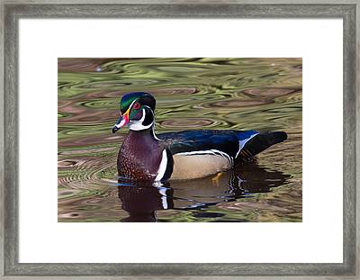 Male Wood Duck Framed Print by Randy Hall