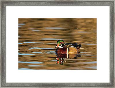 Male Wood Duck Reflected In The Golden Framed Print by Michael Qualls