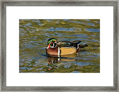 Male Wood Duck, Swimming, Crystal Framed Print by Michel Hersen