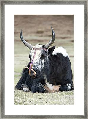Male Yak In Potatso National Park Framed Print by Tony Camacho