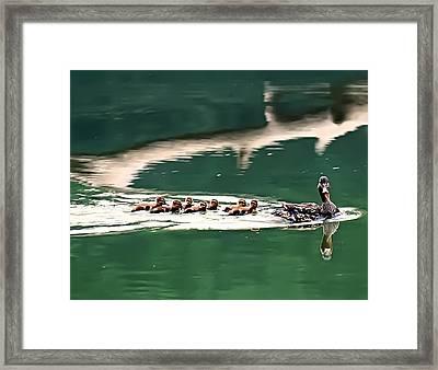 Mallard And Chicks Swimming Framed Print
