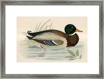 Mallard Framed Print by Beverley R Morris