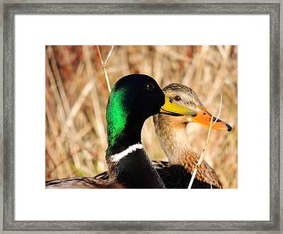 Mallard Couple Framed Print by Karen Horn