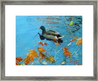 Mallard Framed Print by David Klaboe