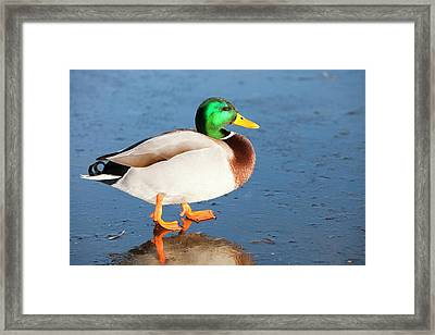 Mallard Drake On Ice Framed Print