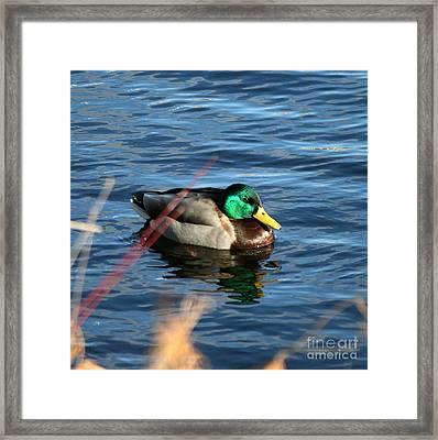 Mallard Drake Passing  Framed Print by Neal Eslinger
