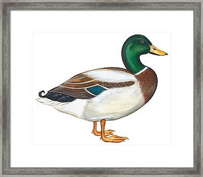 Mallard Duck Framed Print by Anonymous