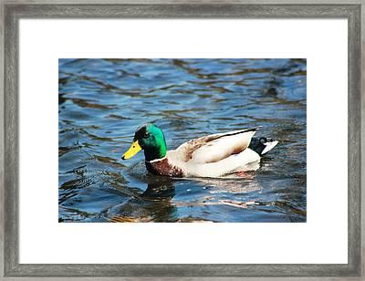 Framed Print featuring the photograph Mallard Duck by Judy Palkimas