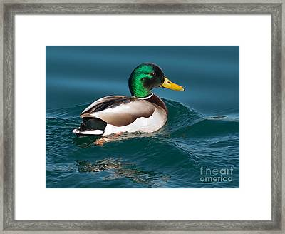 Mallard Duck  Framed Print by Loriannah Hespe