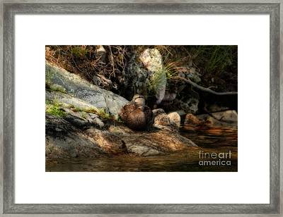 Framed Print featuring the photograph Mallard Duck Onaping 2 by Marjorie Imbeau
