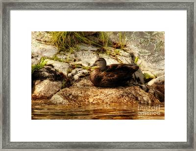 Framed Print featuring the photograph Mallard Duck Onaping by Marjorie Imbeau