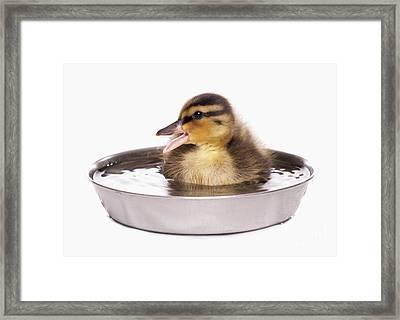 Mallard Duckling Framed Print by Chris Brignell/FLPA