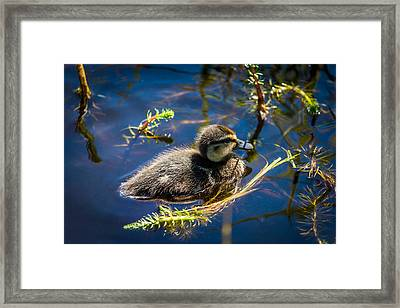 Mallard Duckling Swimming, Flatey Framed Print by Panoramic Images