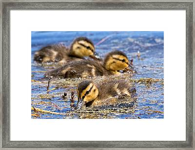 Mallard Ducklings Framed Print