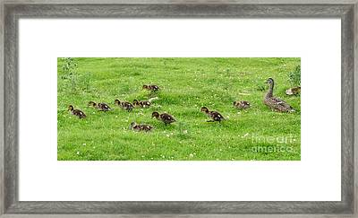Ducklings Parade Framed Print by Phil Banks
