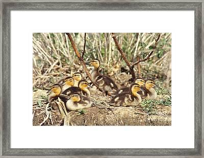 Mallard Ducklings Framed Print by William H. Mullins