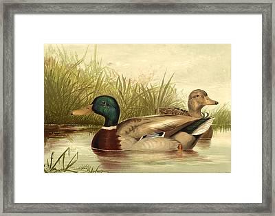 Mallard Ducks Framed Print by Gary Grayson