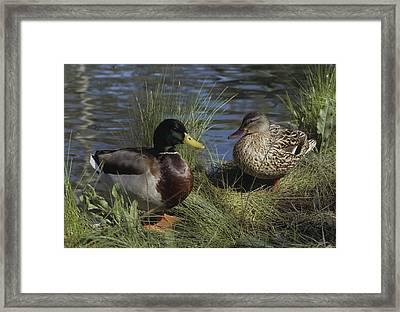 Mallard Duck Pair Framed Print by Don Kreuter