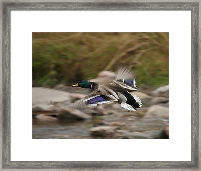 Mallard Framed Print