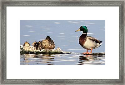 Mallard Family Framed Print