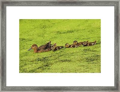 Mallard Female And Ducklings In Algae Framed Print