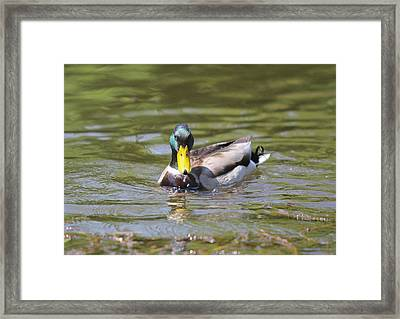 Framed Print featuring the photograph Mallard Green Headed Duck Anas Platyrhynchos - Male by Jivko Nakev