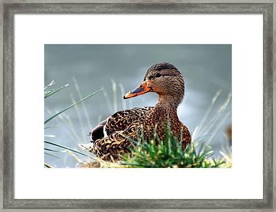 Mallard Hen In The Grass - 1 Framed Print by Don Mann