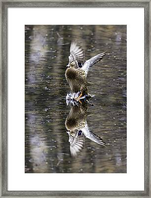 Mallard Hen Landing Framed Print
