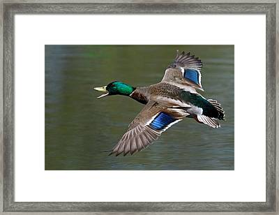 Framed Print featuring the photograph Mallard In Flight by Jerry Gammon