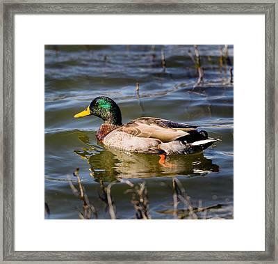 Mallard In Pond Framed Print