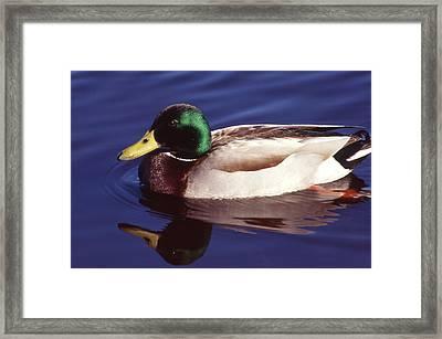 Mallard In The Mirror Framed Print