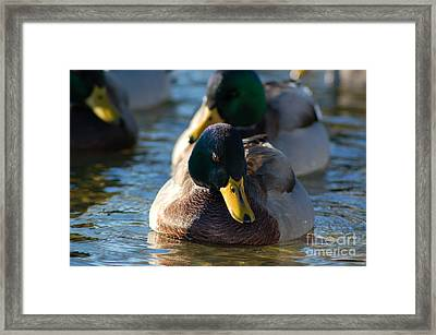 Mallard In The Morning Sun Framed Print