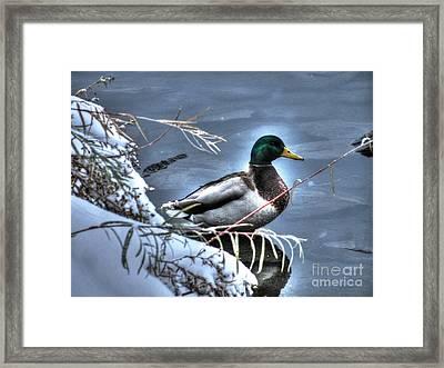 Mallard In Winter Framed Print