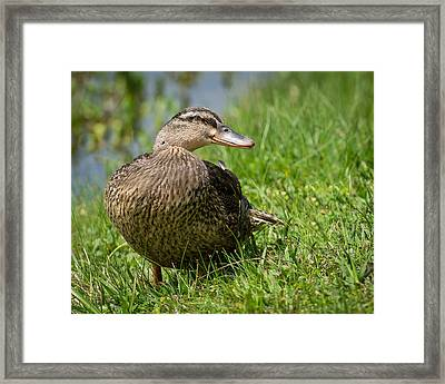Mallard Framed Print by John Johnson