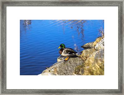 Mallard Looking Over His Domain Framed Print