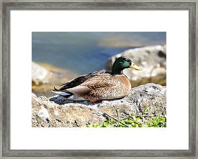 Mallard On Rock Framed Print by Carol Groenen