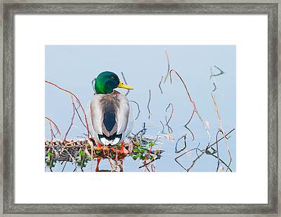 Framed Print featuring the photograph Mallard by Ram Vasudev