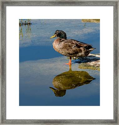 Mallard Reflection Framed Print by John Johnson