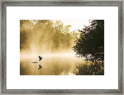 Mallard Taking Flight Noord-brabant Framed Print