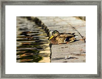 Mallard Framed Print by Tommytechno Sweden