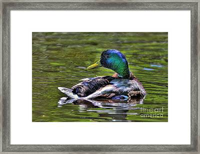 Mallard Tone Mapped Framed Print by Sharon Talson