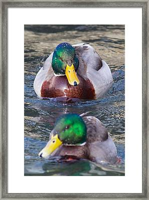 Mallard Train Framed Print