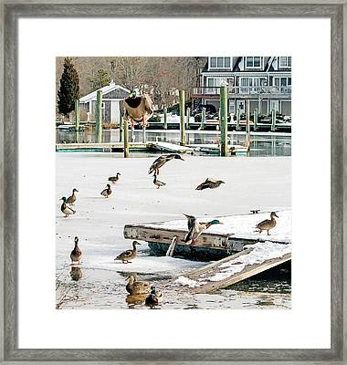 Framed Print featuring the photograph Mallards In Motion by Constantine Gregory