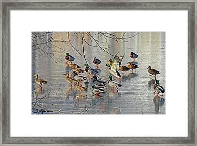 Mallards On A Frozen River Framed Print by Rodney Campbell
