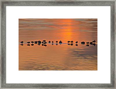 Mallards On Ice Edge During Sunset Framed Print