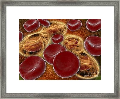 Malria Spores In The Human Blood Stream Framed Print by Stocktrek Images