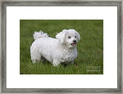 Maltese Dog Framed Print by Johan De Meester
