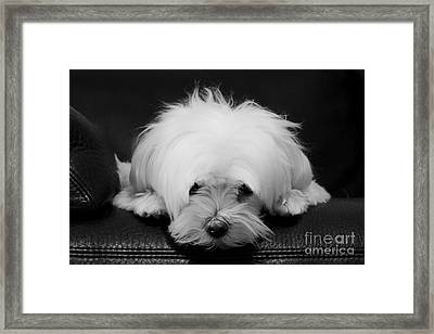 Maltese Dog Framed Print by Maurizio Bacciarini